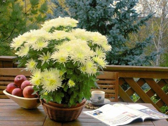 z12714947Q,CHRYZANTEMA--ANASTASIA-CREAM--o-nietypowych-kwiato
